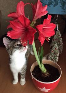 Kitten with amaryllis