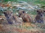 Lion cubs at the local zoo.